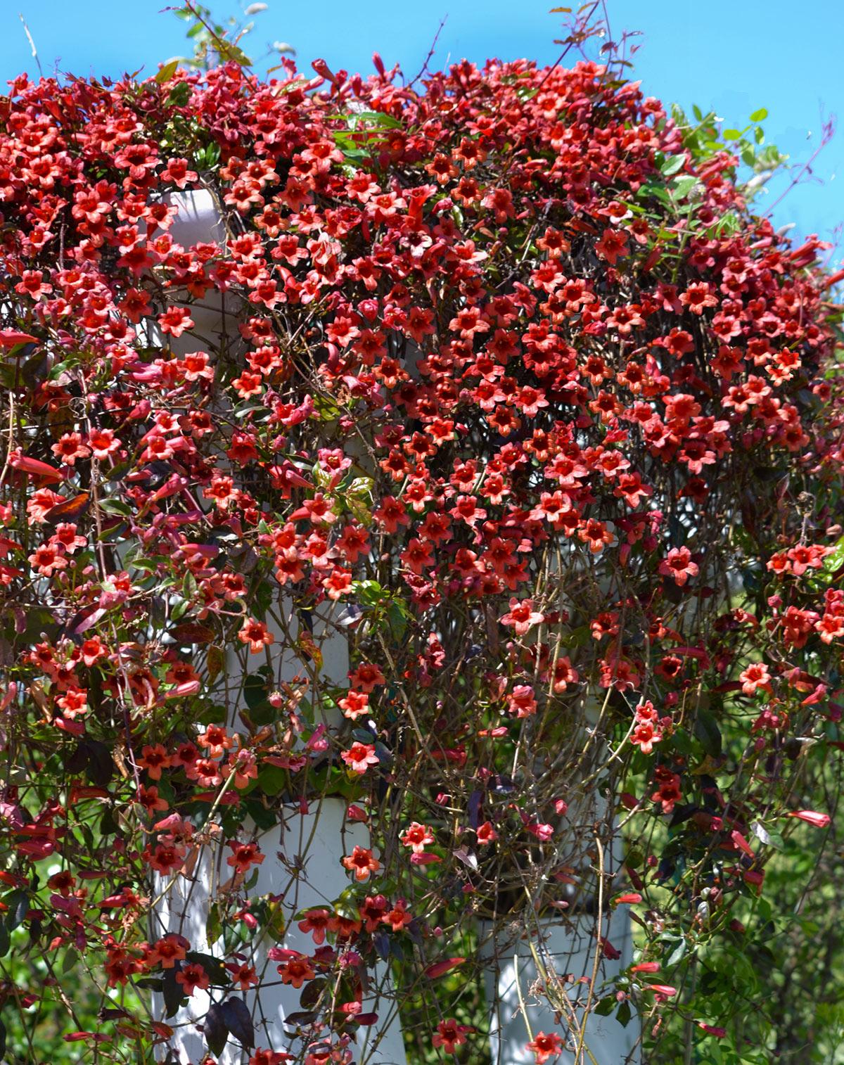 Piante Rampicanti Da Esterno 12 piante rampicanti per un pergolato magnifico! ispiratevi