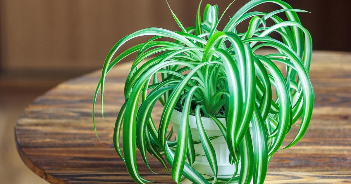 clorofito pianta anti inquinamento