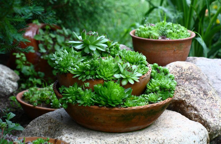 piante grasse sempreverdi da esterno