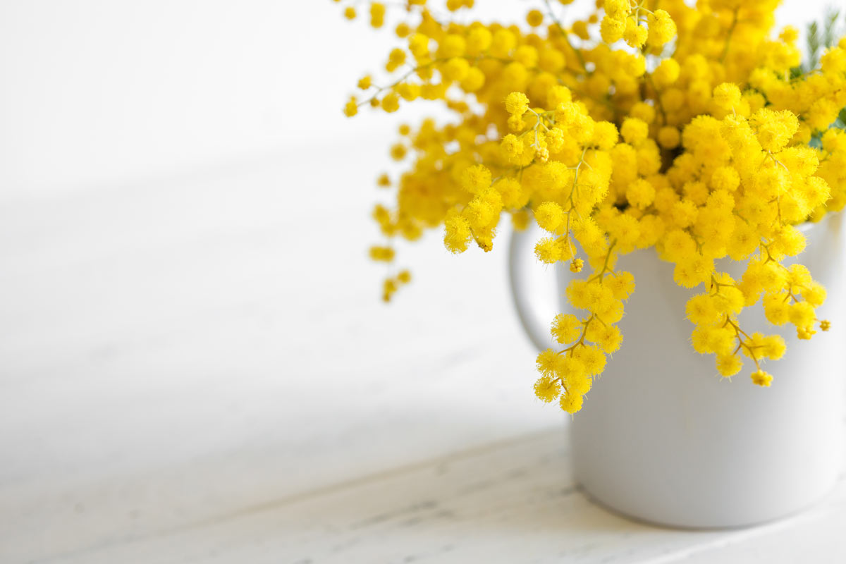 mimosa fresca in vasetto