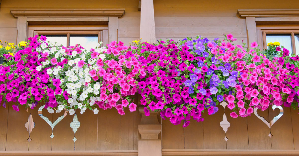 Fiori a cascata per decorare il balcone.