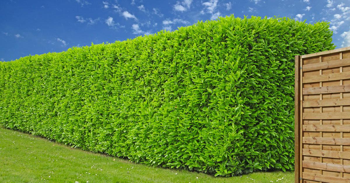 piante da siepe sempreverdi