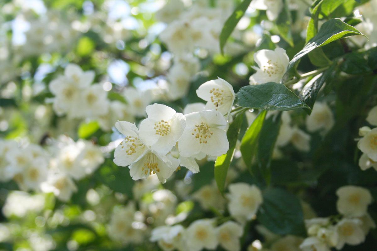 Arbusti con fiori profumati in giardino.