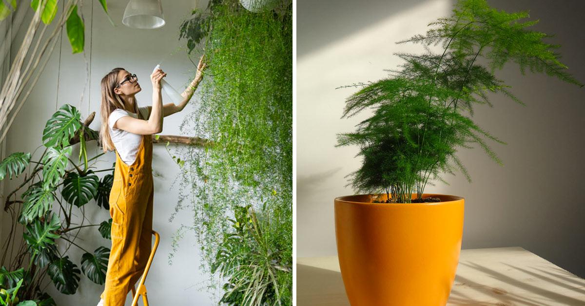Come coltivare l'asparagina.