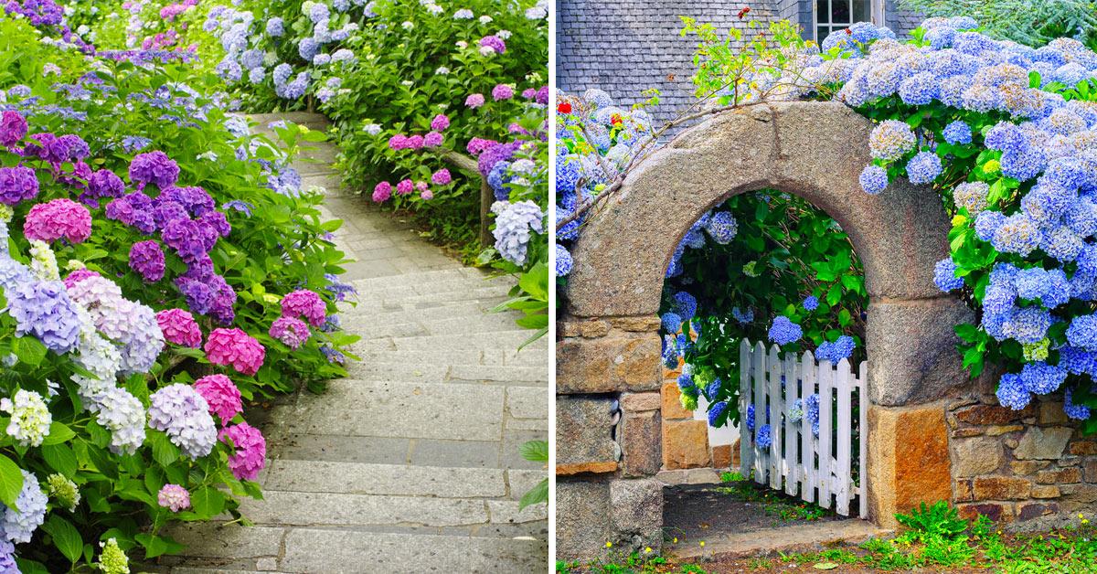Ortensie in giardino.